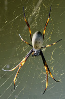 Golden Orb spider (female) in the sun