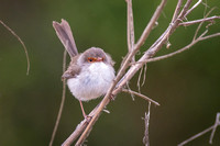 Female Blue Wren on twig