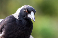 Magpie with tick near eye