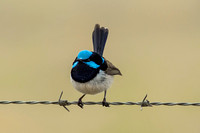 Male Blue Wren on barbed wire