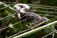 Python on clothes line